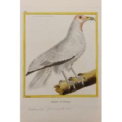 Oiseau - LE VAUTOUR DE...