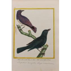 Oiseau - MERLE VIOLET A...
