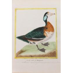 Oiseau -  LA SARCELLE MÂLE...