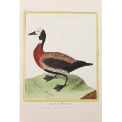 Oiseau - CANARD DU MARAGNAN...