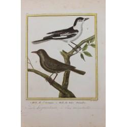Oiseau - LE MERLE DE ST...