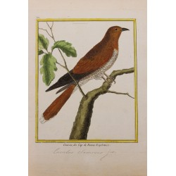 Pájaro - COUCOU DE CAP DE...