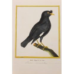 Oiseau - MERLE HUPPE DE LA...