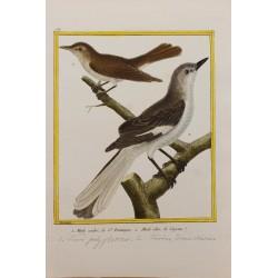 Oiseau - MERLE CENDRE DE ST...