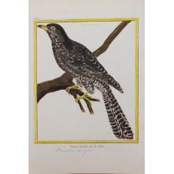 Oiseau - LE COUCOU TACHETÉ...