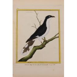 Pájaro - COUCOU HUPE DE LA...