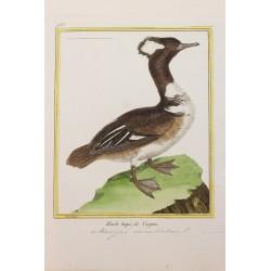 Oiseau - HARLE HUPE DE...