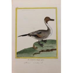 Oiseau - LE CANARD A LONGUE...