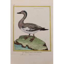 Oiseau - LE CANARD JENSEN...