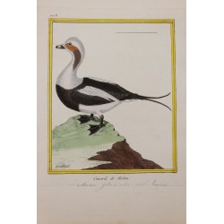 Pájaro - CANARD DE MICLON...