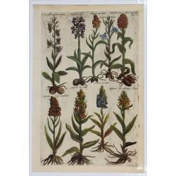 Orchidées Satyrion - 1612 -...