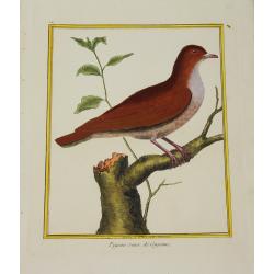 Oiseau - Pigeon roux de...