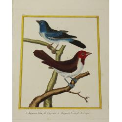 Pájaro - Tangara bleu de...