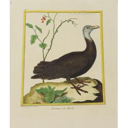 Oiseau - Vautour du Brésil...