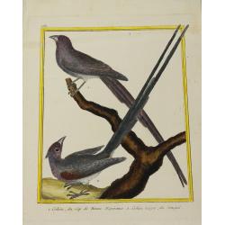 Oiseau - Coliou du Cap de...