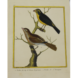 Oiseau - Verdier du Cap de...