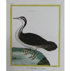 Pájaro - LE GREBIFOULQUE DE...