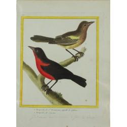 Pájaro - Troupiale de St...