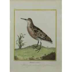 Pájaro - Maubeche tachetée...