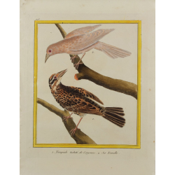 Oiseau - Troupiale tacheté...