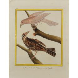Pájaro - Troupiale tacheté...