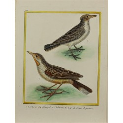 Pájaro - Cochevis du...