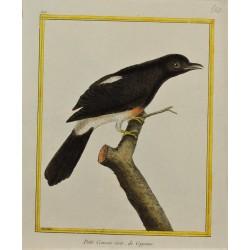 Pájaro - Petit Coucou noir...