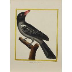 Pájaro - Coucou noir de...