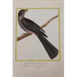 Oiseau - Couroucou gris à...