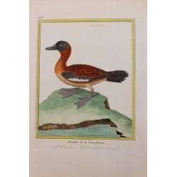 Oiseau - Sarcelle de la...