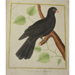 Oiseau - Perroquet noir de...