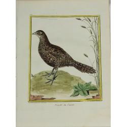 Pájaro - Femelle du  Faisan...