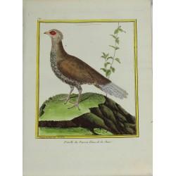Oiseau - Femelle du Faisan...