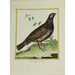 Pájaro - Gélinote mâle du...
