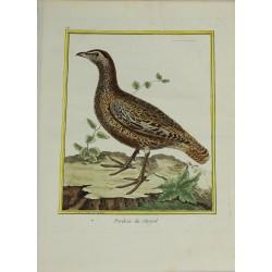 Pájaro - Perdrix du Sénégal...