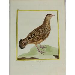 Pájaro - Francolin femelle...