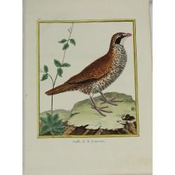 Oiseau - Caille de la...