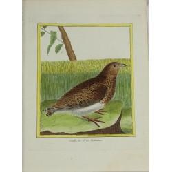 Oiseau - Caille des Isles...