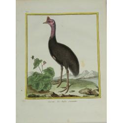 Pájaro - Casoar des Indes...