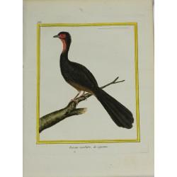 Oiseau - Faisan verdâtre de...