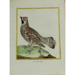 Oiseau - La Gélinote mâle...