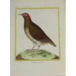 Pájaro - Le Tinamou de...