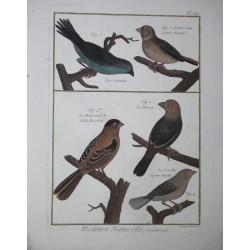 BIRDS- Gros-Bec, Bouvreuil,...