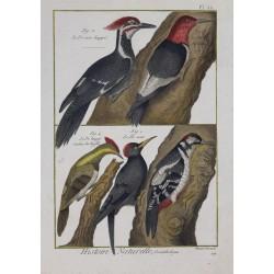 BIRDS - Crested Woodpecker...