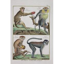 Singes - Macaque, Mone,...