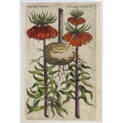 Corona Imeprialis - 1612 -...