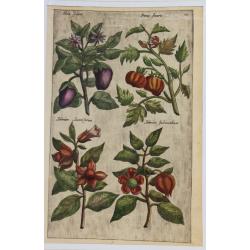 Mala, Poma, Solanum - 1612...