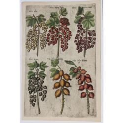 Ribes, Vua (grosellas...
