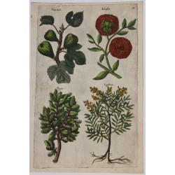 Ficus, Balaustia, Buxus,...
