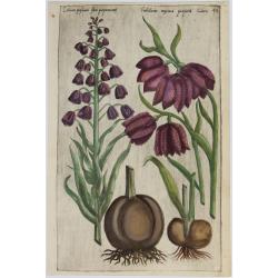 Lilium, Frittallaria - 1612...